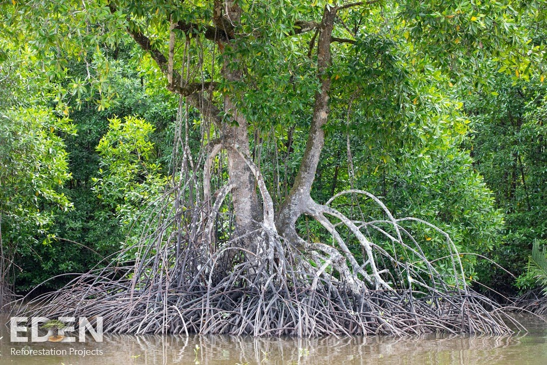 Indonesia_2018_Giant-mangrove.jpg